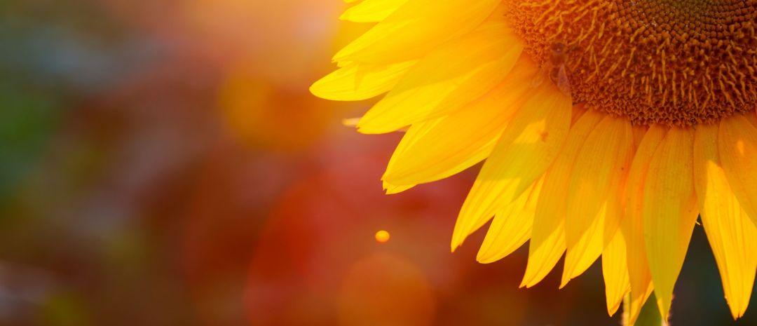 Psychosomatische Klinik Südostbayern_Titelbild Sonnenblume
